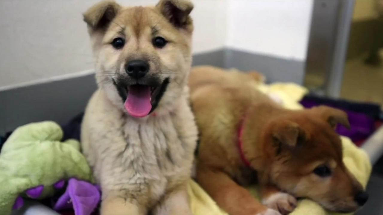 Pups rescued from a dog meat farm in South Korea arrived at the San Francisco SPCA on March 16, 2015.