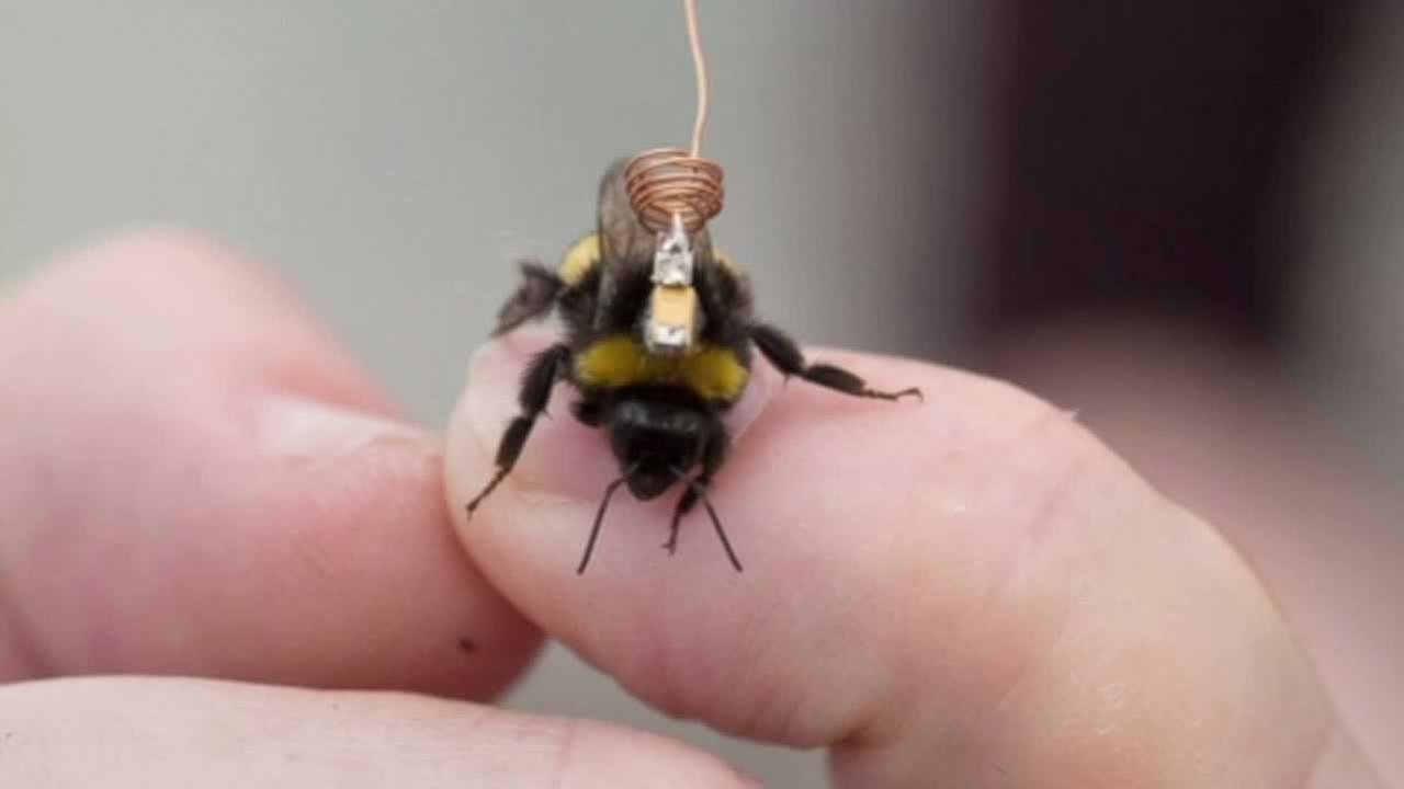 Some bumblebees are sporting little backpacks, all in the name of science.