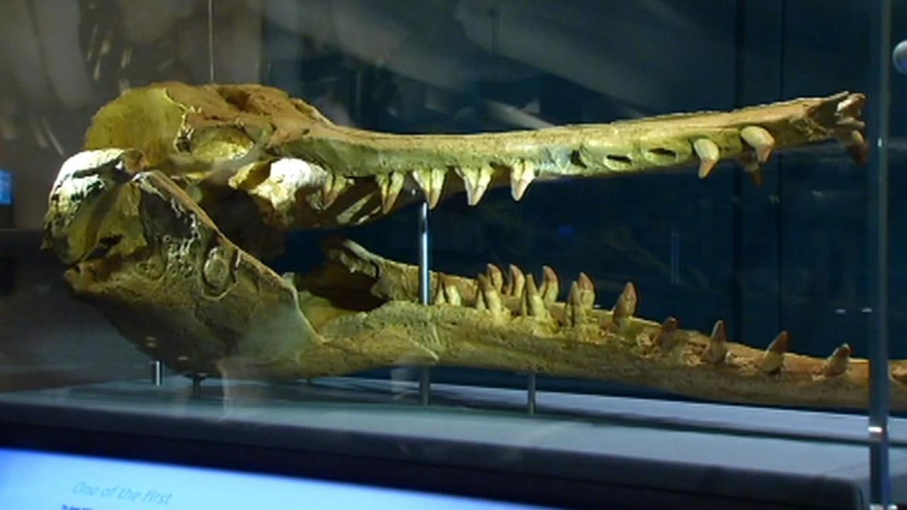 The skull of a whale is seen at the California Academy of Sciences in San Francisco on April 1, 2015.