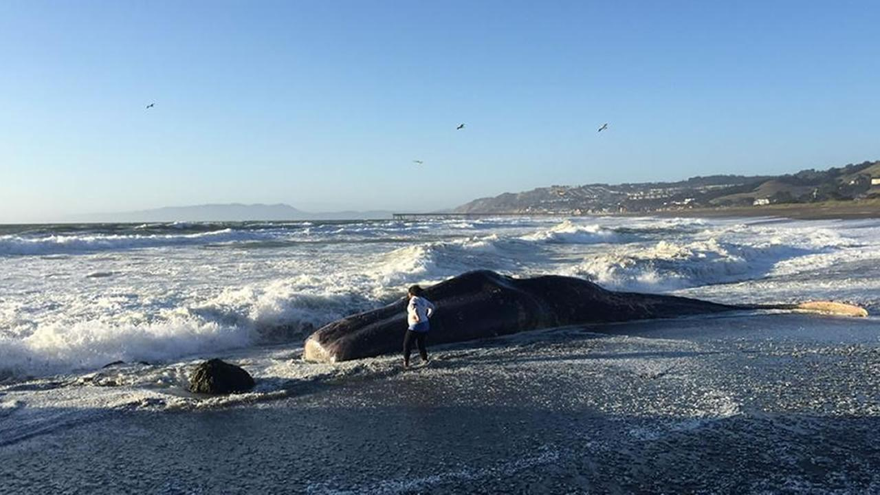 Experts say a dead sperm whale washed ashore at a popular beach in Pacifica, Calif. on April 14, 2015.