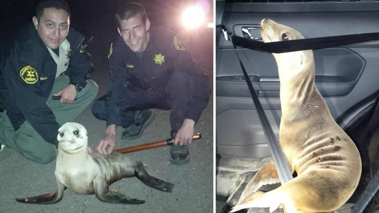 Mendocino County Sheriffs deputies rescued a sea lion pup found on Highway 1 near Fort Bragg, Calif. on April 19, 2015.