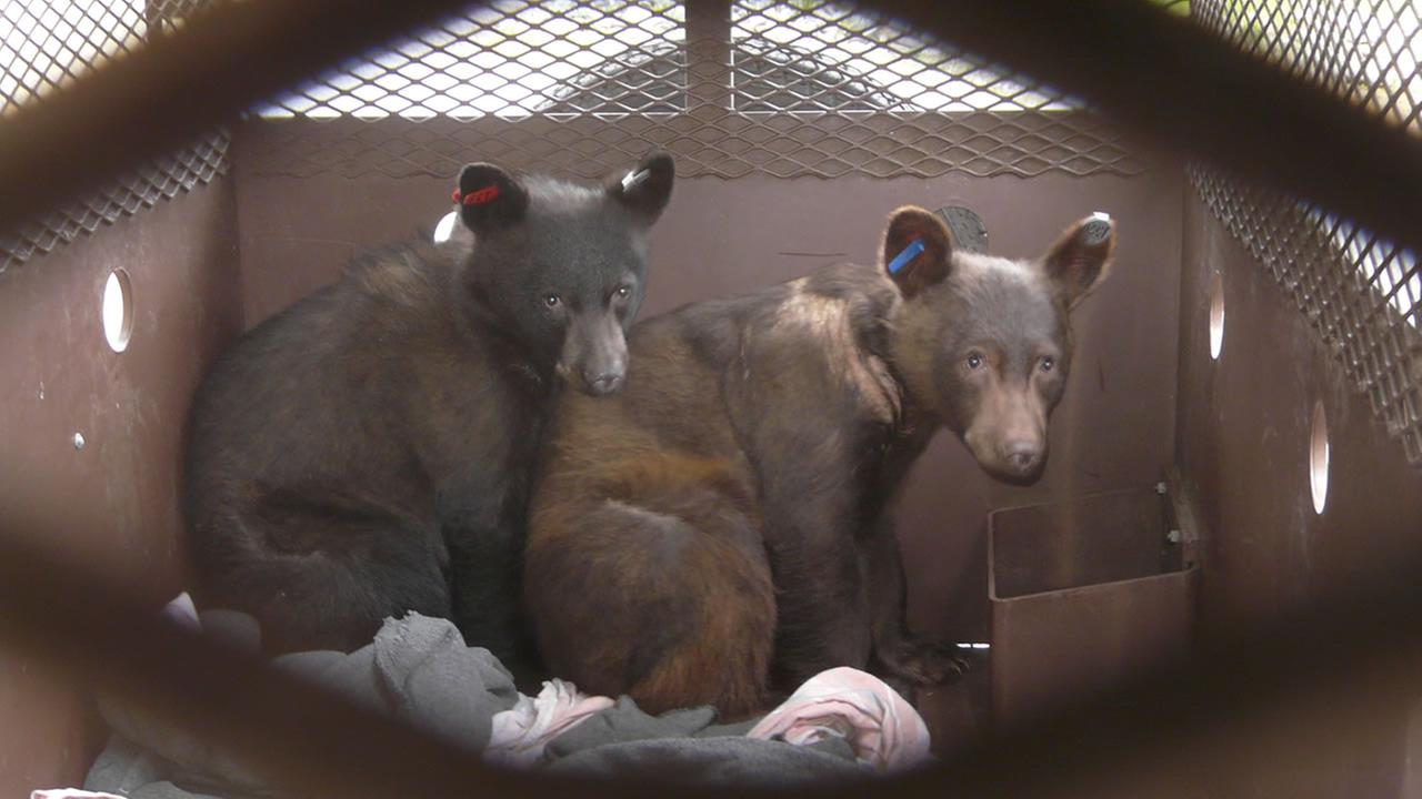 rescued bears Salyer and Hoopa