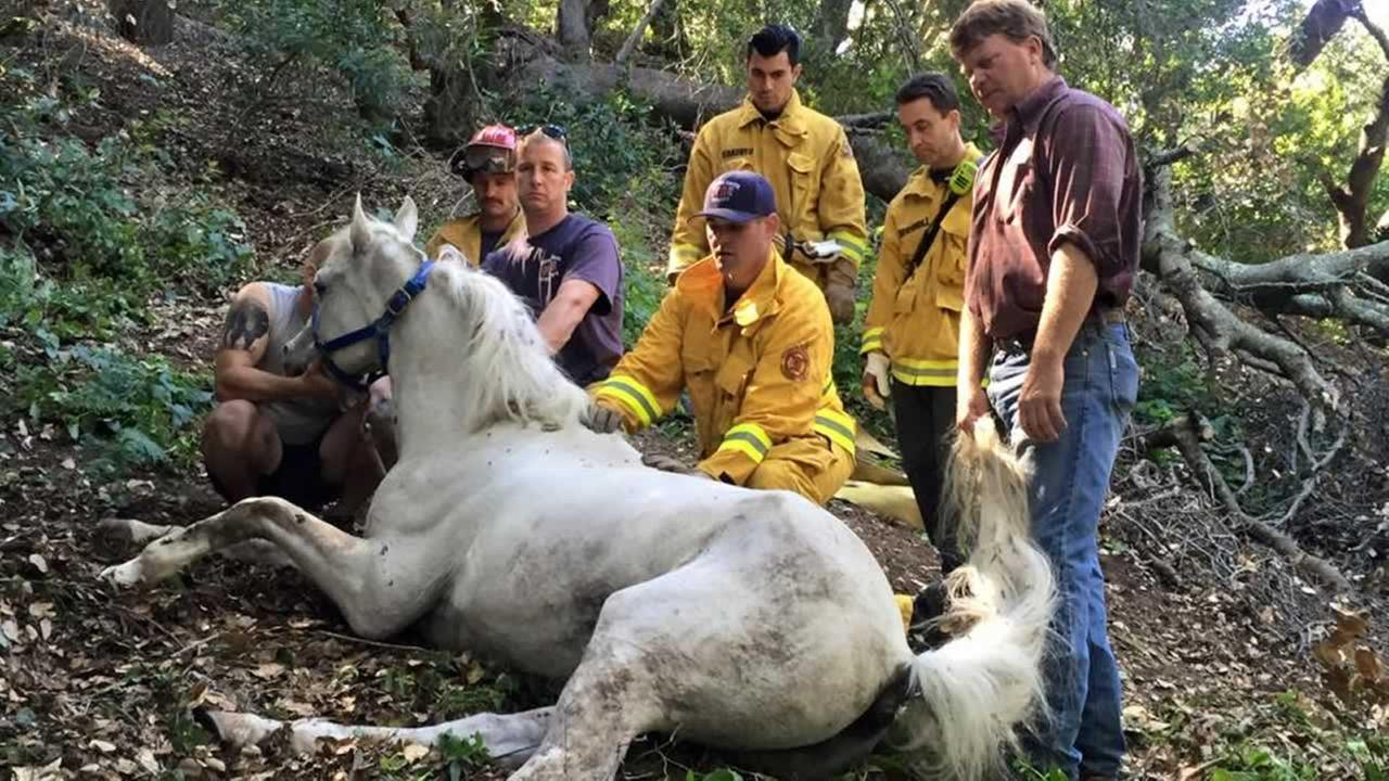 Crews are trying to rescue a horse that became stuck in a tree after falling 30 feet down an embankment in Briones Regional Park in Martinez, Calif. on Tuesday, May 19, 2015.