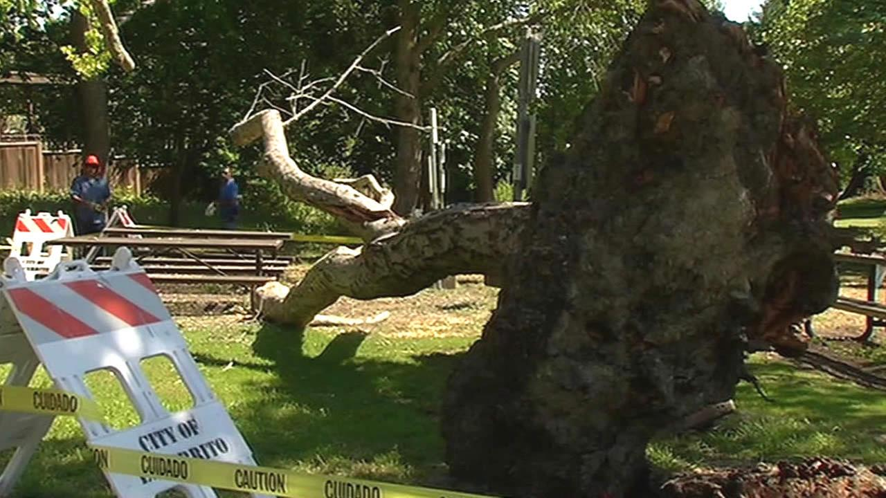 Fallen tree in Arlington Park in El Cerrito