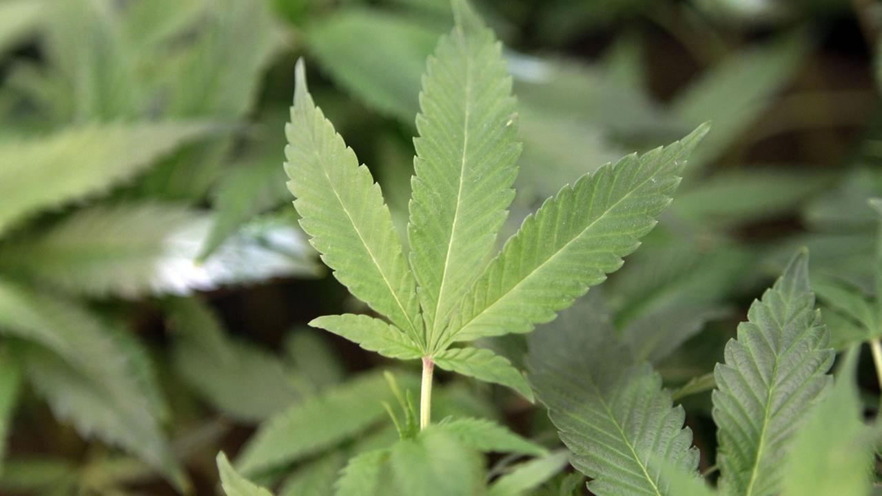This Feb. 1, 2011 file photo shows medical marijuana clone plants at a medical marijuana dispensary in Oakland, Calif.