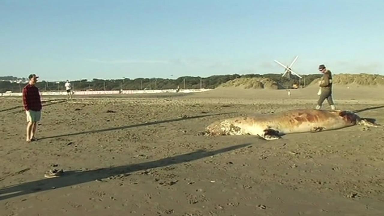 elephant seal dead at Ocean Beach