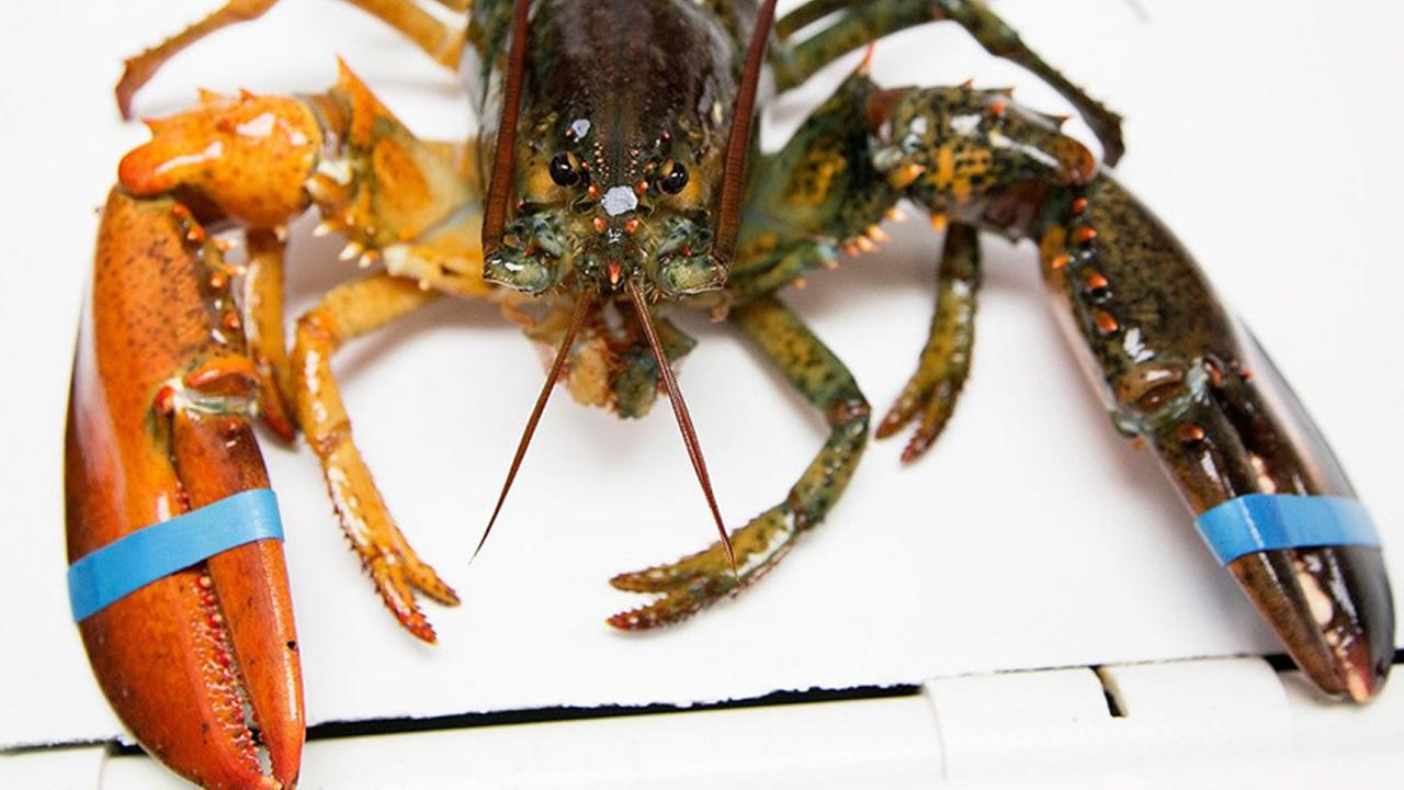 This undated photo shows an incredibly rare lobster split-colored lobster was caught off the coast of Maine.