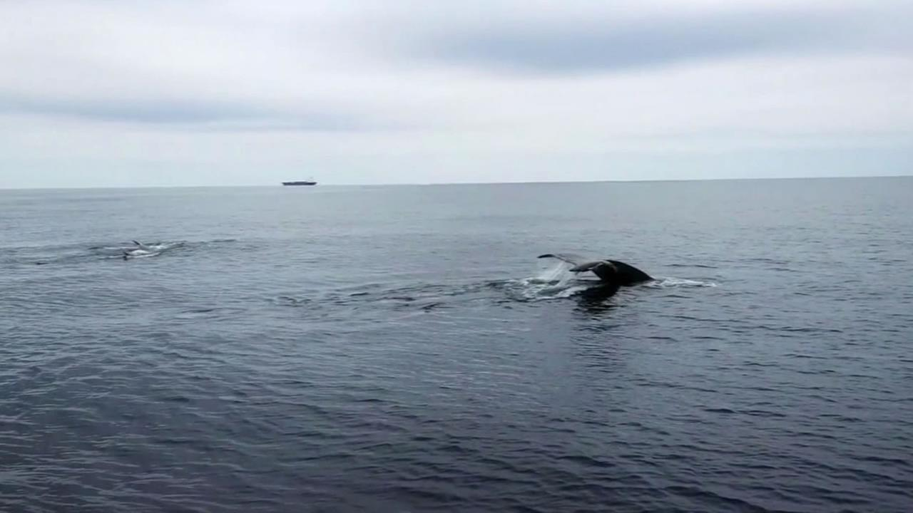 This undated photo shows whales swimming near Lands End in San Francisco.