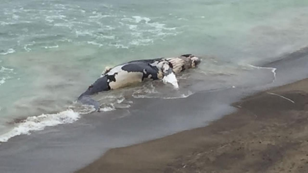 A whale washed up on Esplanade Beach in Pacifica, Calif. on Sunday, August 2, 2015.