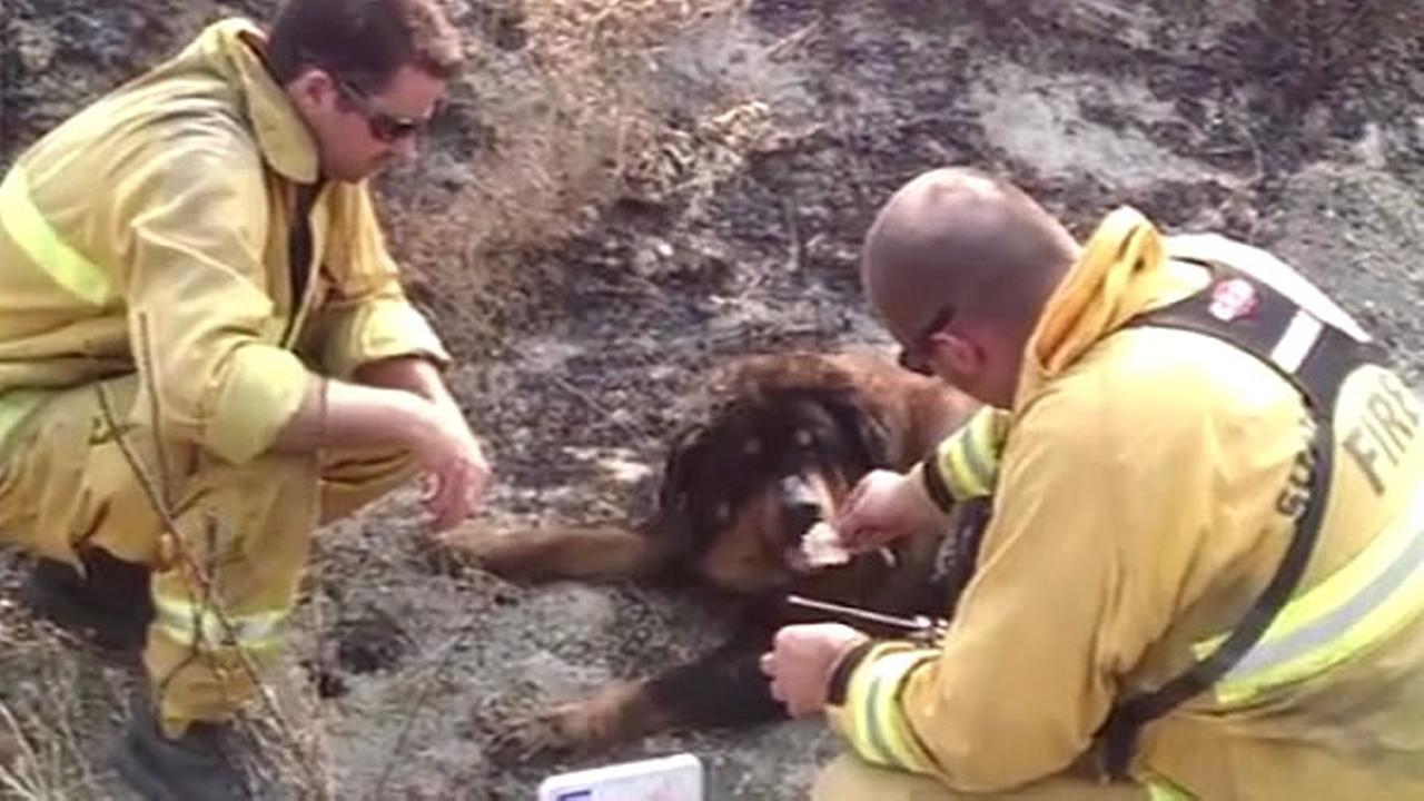 Crews took a break from battling the Rocky Fire to save a slightly burned dog they found wandering near the fire Friday, August 7, 2015.