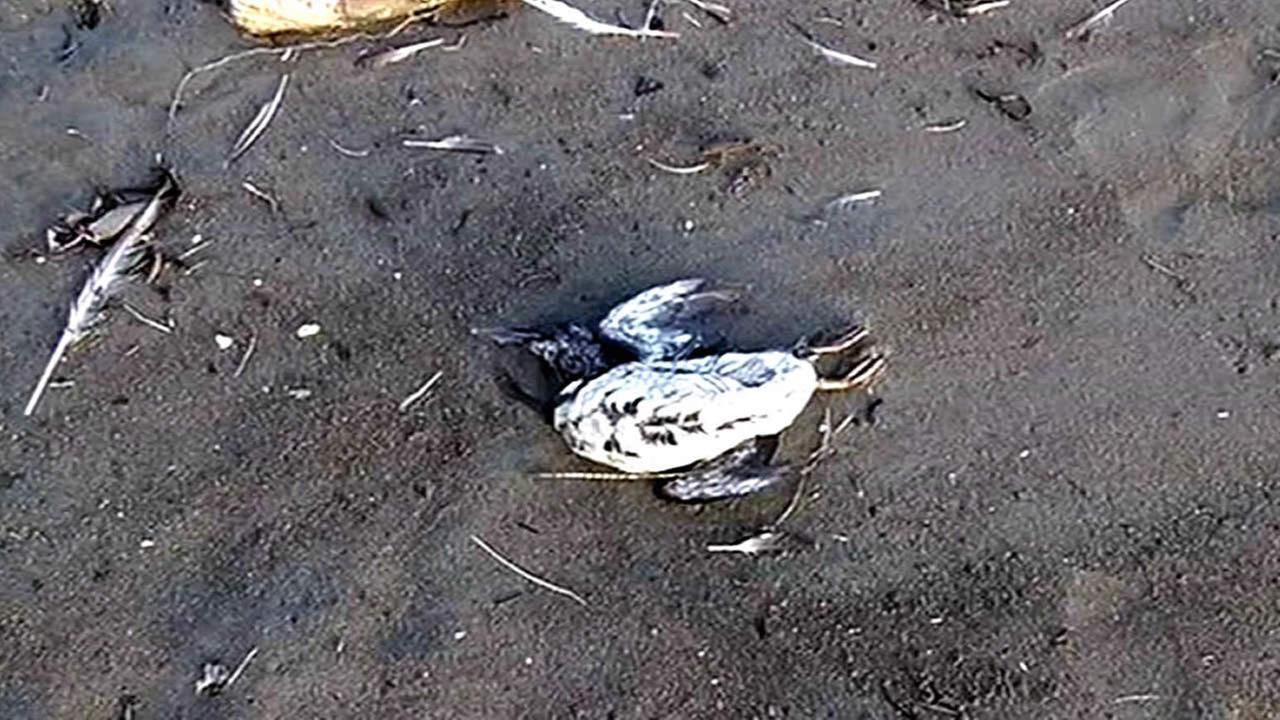 dead murre on the beach