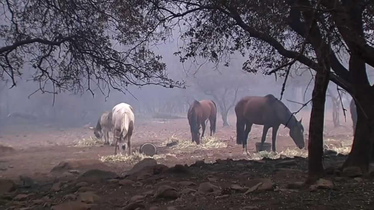 Horses graze on hay brought in by animal rescue groups in Lake County, Calif. on Monday, September 14, 2015.