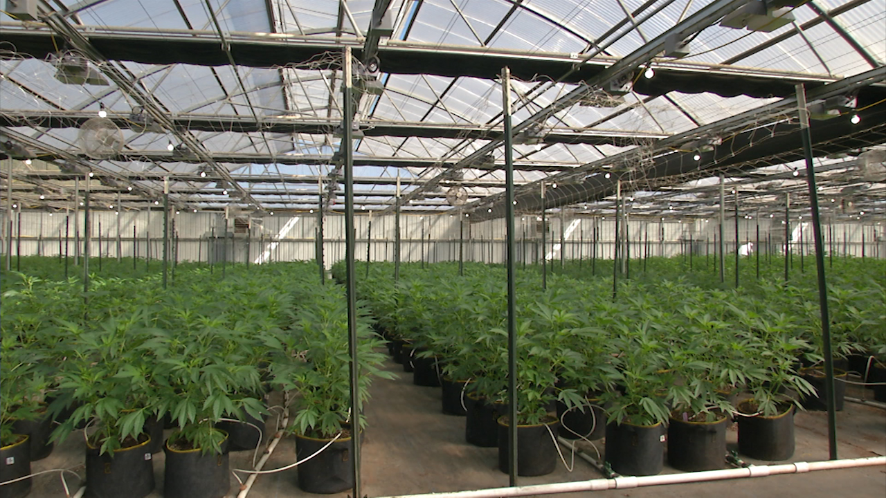 Inside Pacific Reserves cannabis greenhouse in Salinas, Calfornia, a new crop is taking root where flowers used to grow.