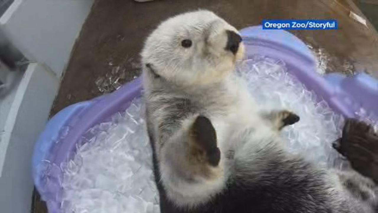 This image shows an otter playing in pool full of ice at the Oregon Zoo in Portland on July 12, 2018.
