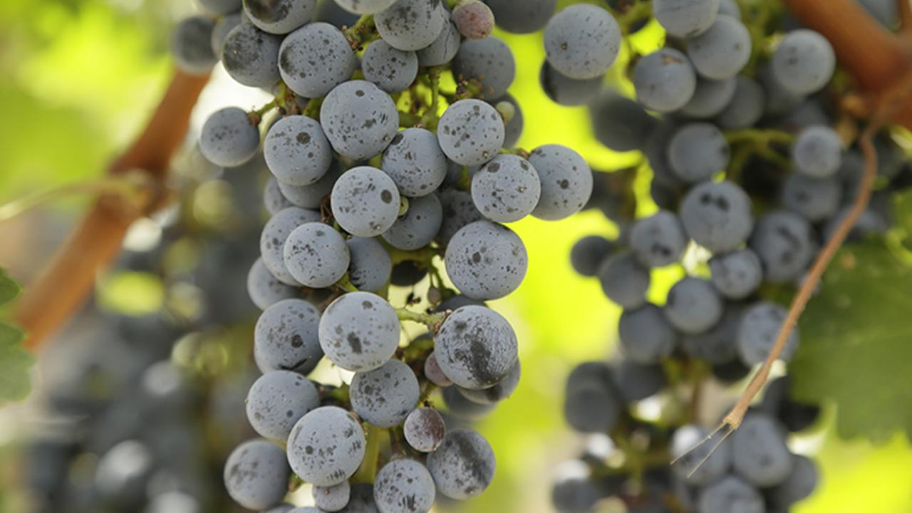 Grapes left unpicked hang on a vineyard in Napa County, Calif., on Oct. 19, 2017.