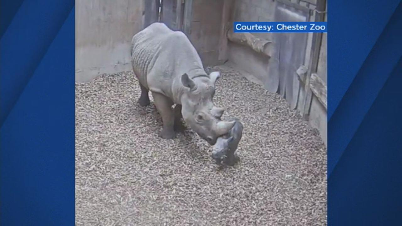 This undated image shows an Eastern black rhino and her new calf at Chester Zoo in England.