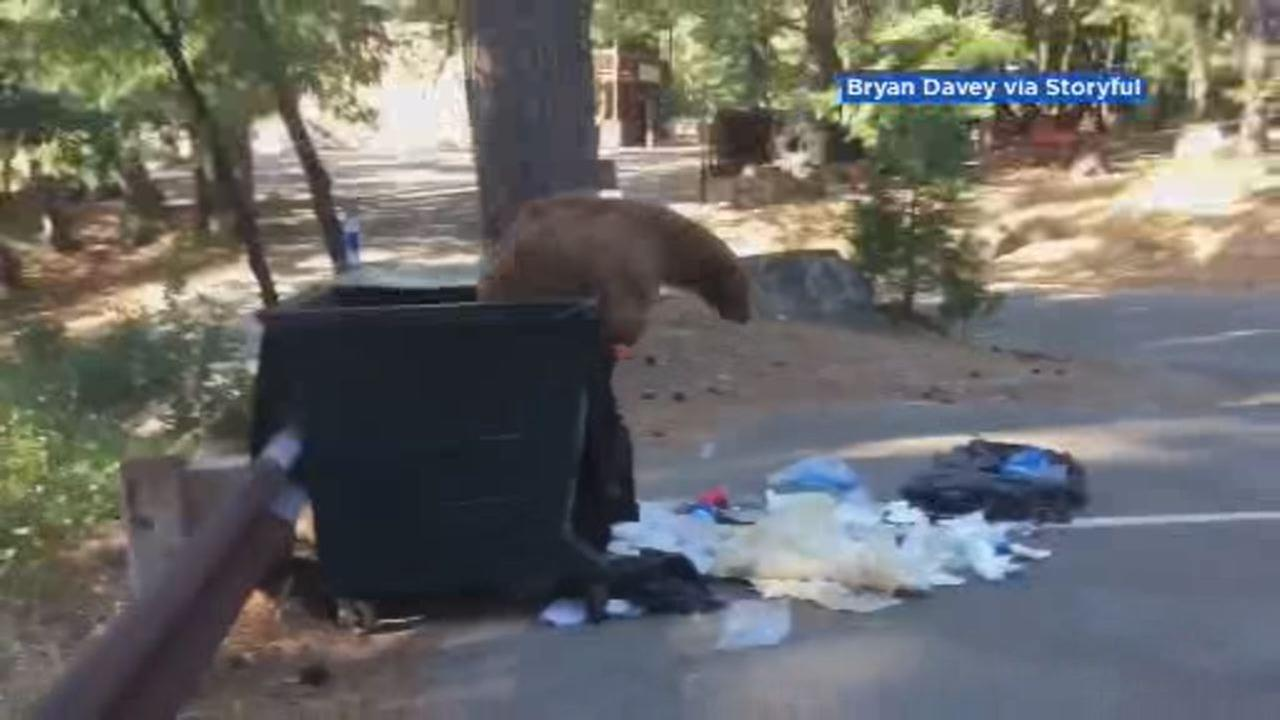 This images shows a bear jumping out of a dumpster in Sierra City, California on Aug. 29.
