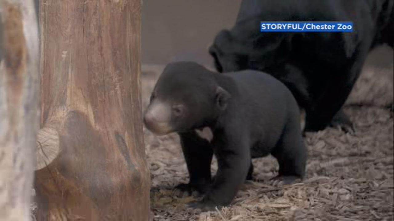 This image shows first sun bear cub to be born in the UK emerging from her den at the Chester Zoo.