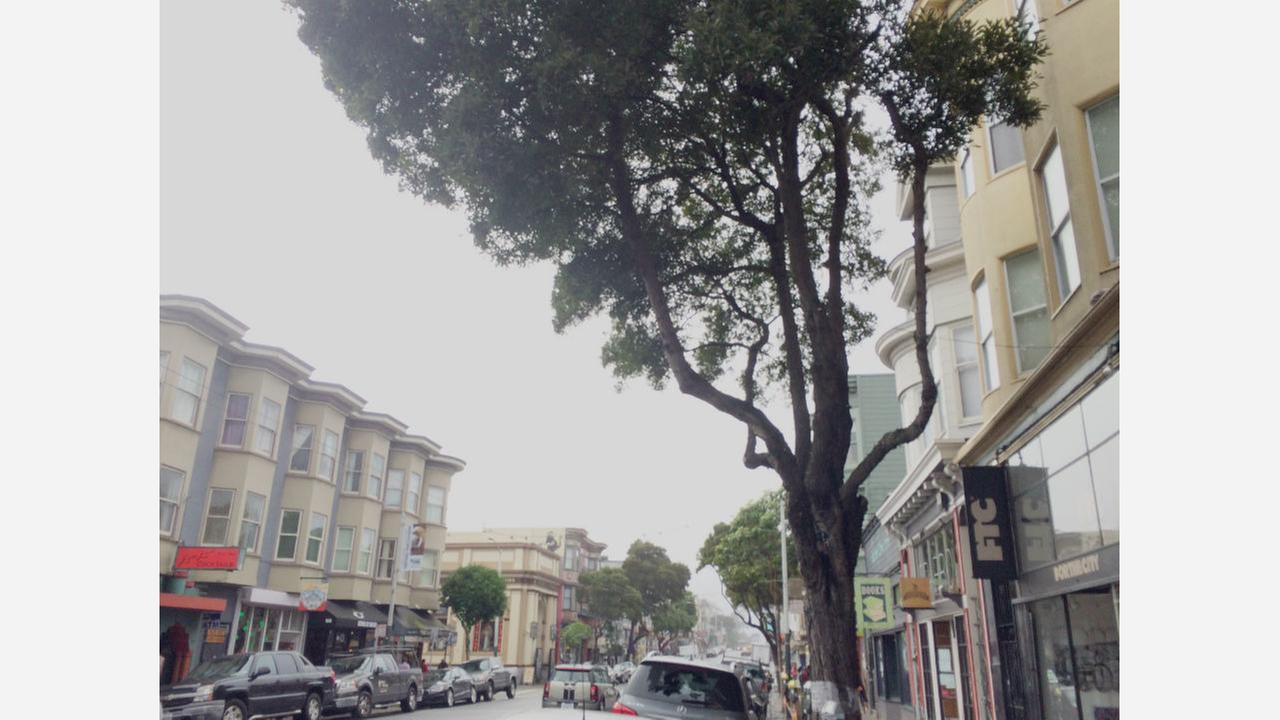 More Upper Haight Street Trees Marked For Removal