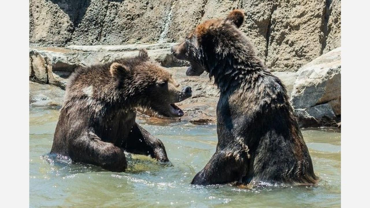 Two grizzly bears were brought in from Alaska. | Photo: Steven Gotz for Oakland Zoo
