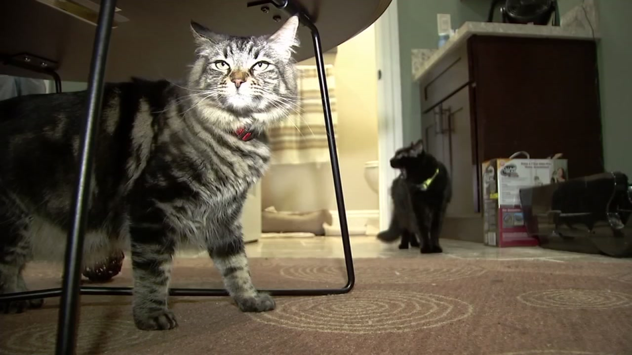 This image taken on Sunday, Jan. 13, 2019 shows two cats who live alone in a San Jose, Calif. apartment.