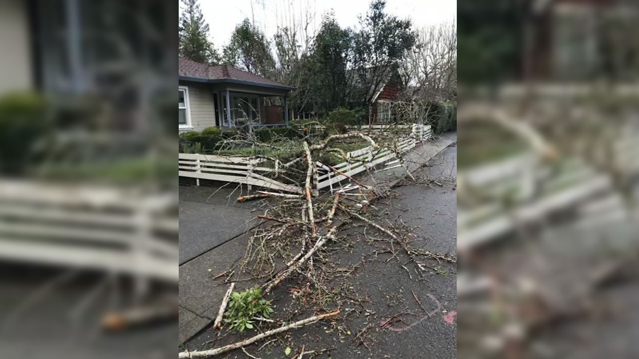 This image shows a Ginko tree knocked over by strong winds in Larkspur, Calif. on Thurday, Jan. 17, 2019.