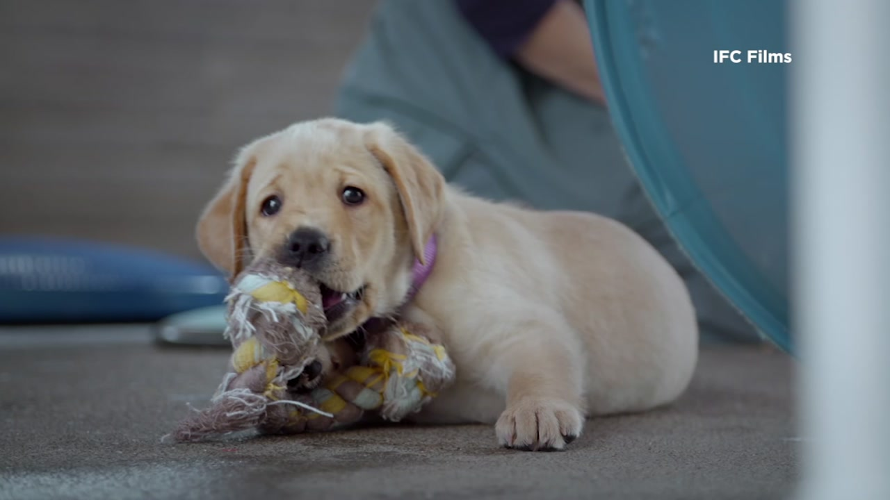 A guide dog puppy is featured in the film Guide Dogs for the Blind.