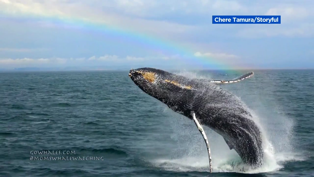Whale breach in Monterey, California on Wednesday, October 3, 2018.