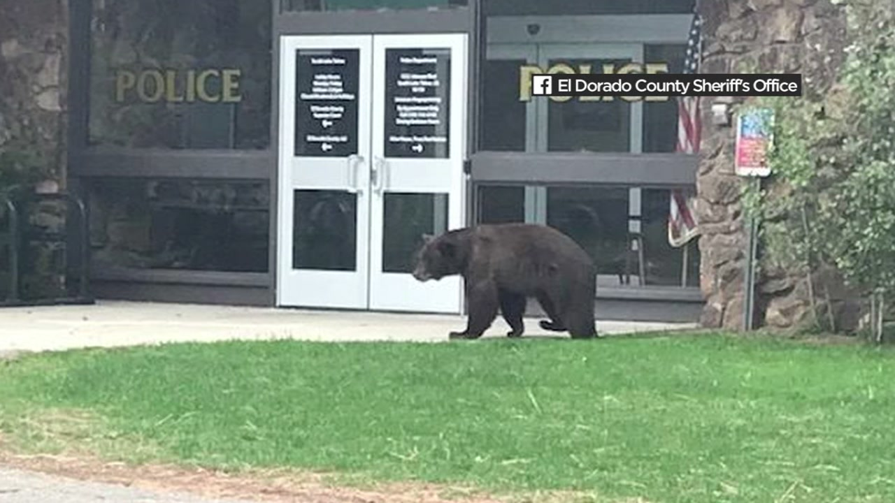 A bear is seen strolling through South Lake Tahoe on Sunday, October 7, 2018.