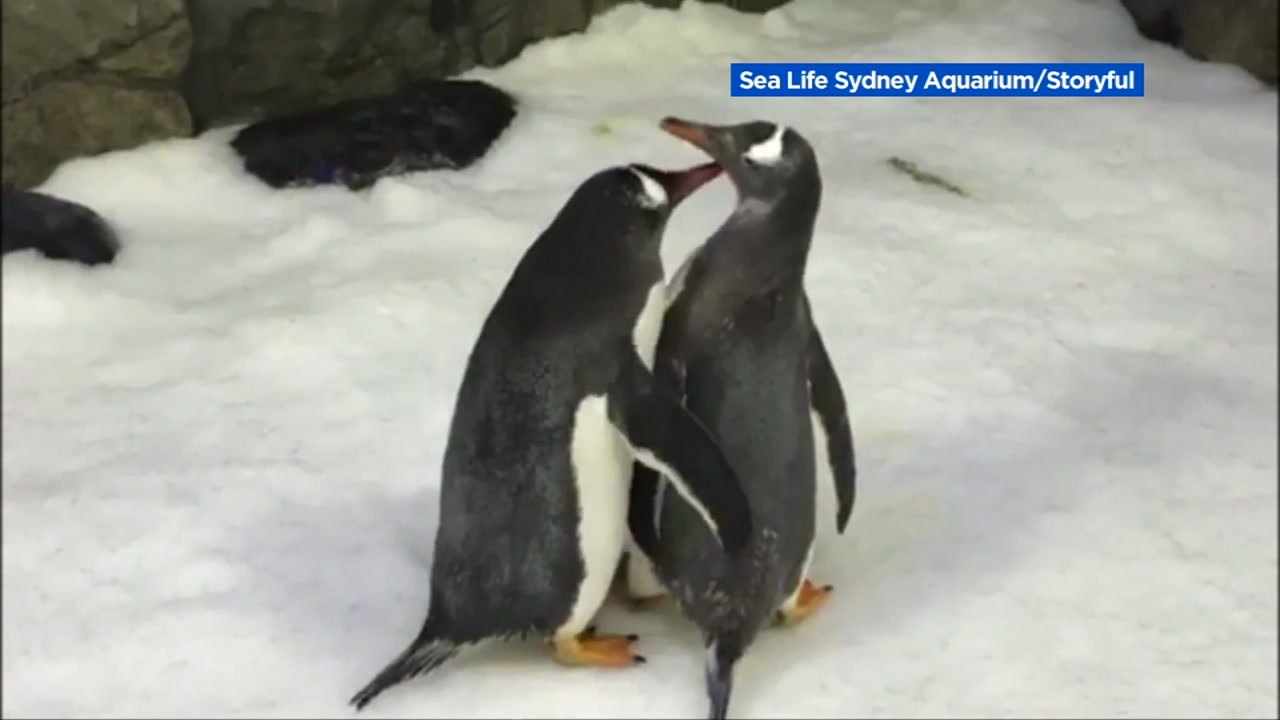 Two same-sex penguins are making history in Australia.