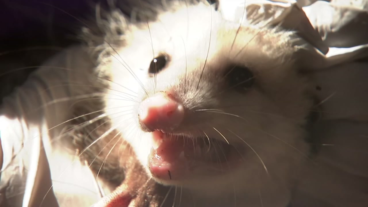 Opossums are one of the most commonly injured or orphaned animals brought to bay area wildlife rescue groups.