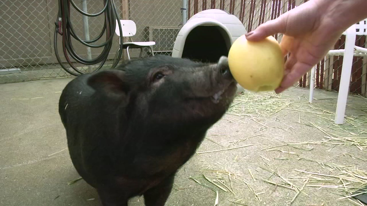 This undated photo shows a lost pig found in East Palo Alto, Calif.