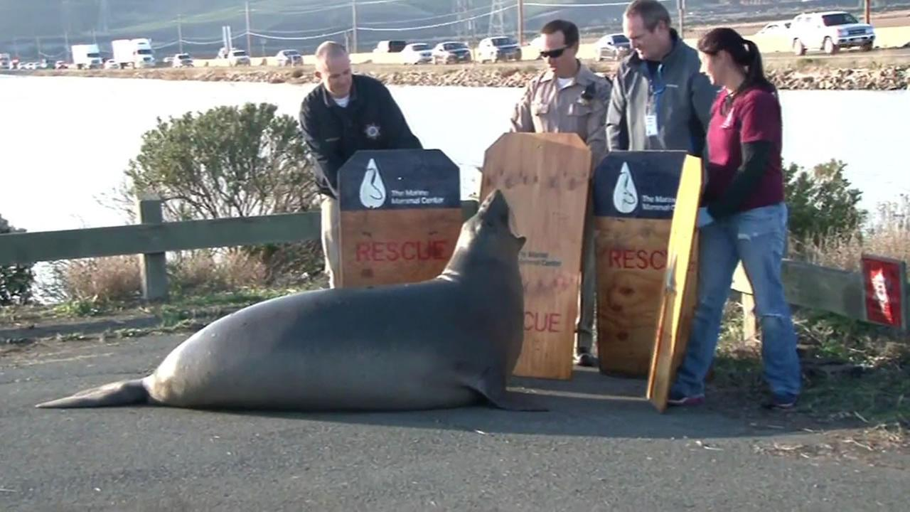 an animal rescue team tries to stop an elephant seal from crossing Highway 37