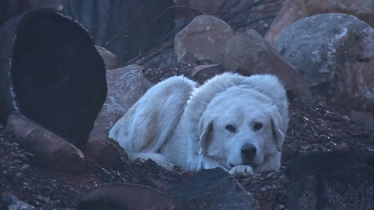 Madison the dog is seen in this undated image patiently guarding the property where his home was destroyed by the Camp Fire.