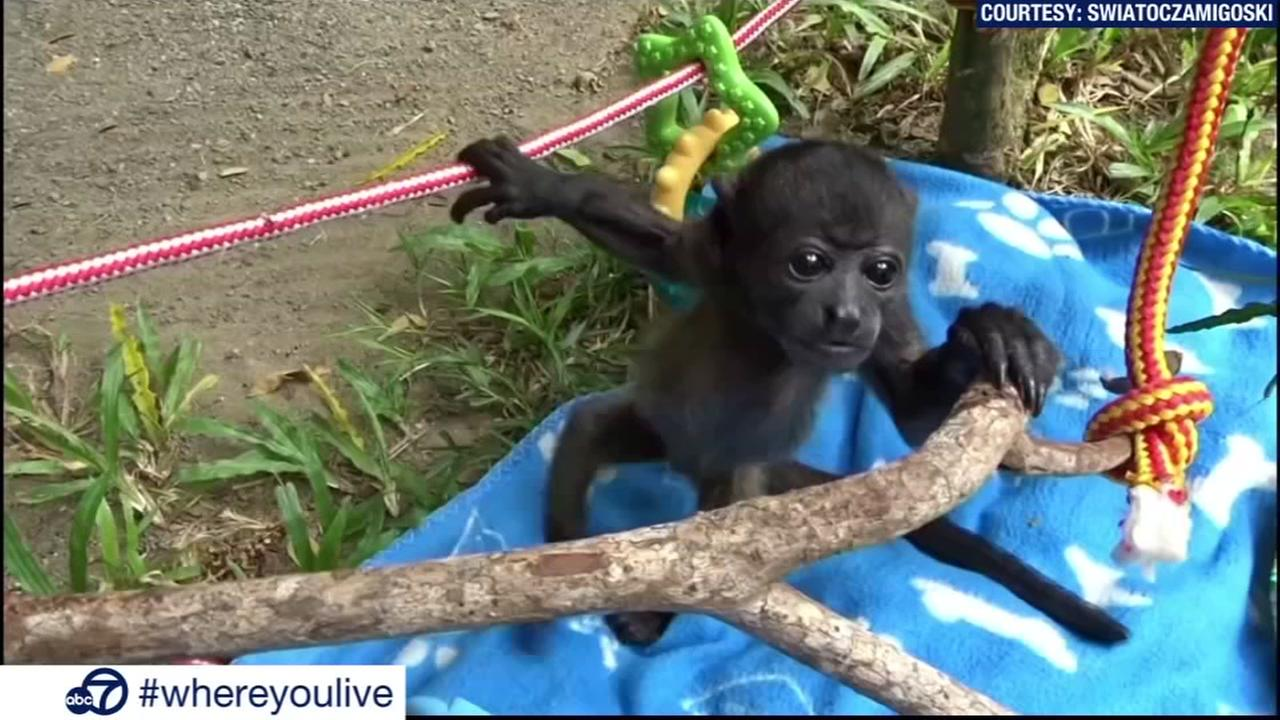 KNOW AND TELL: Baby howler monkey takes first steps