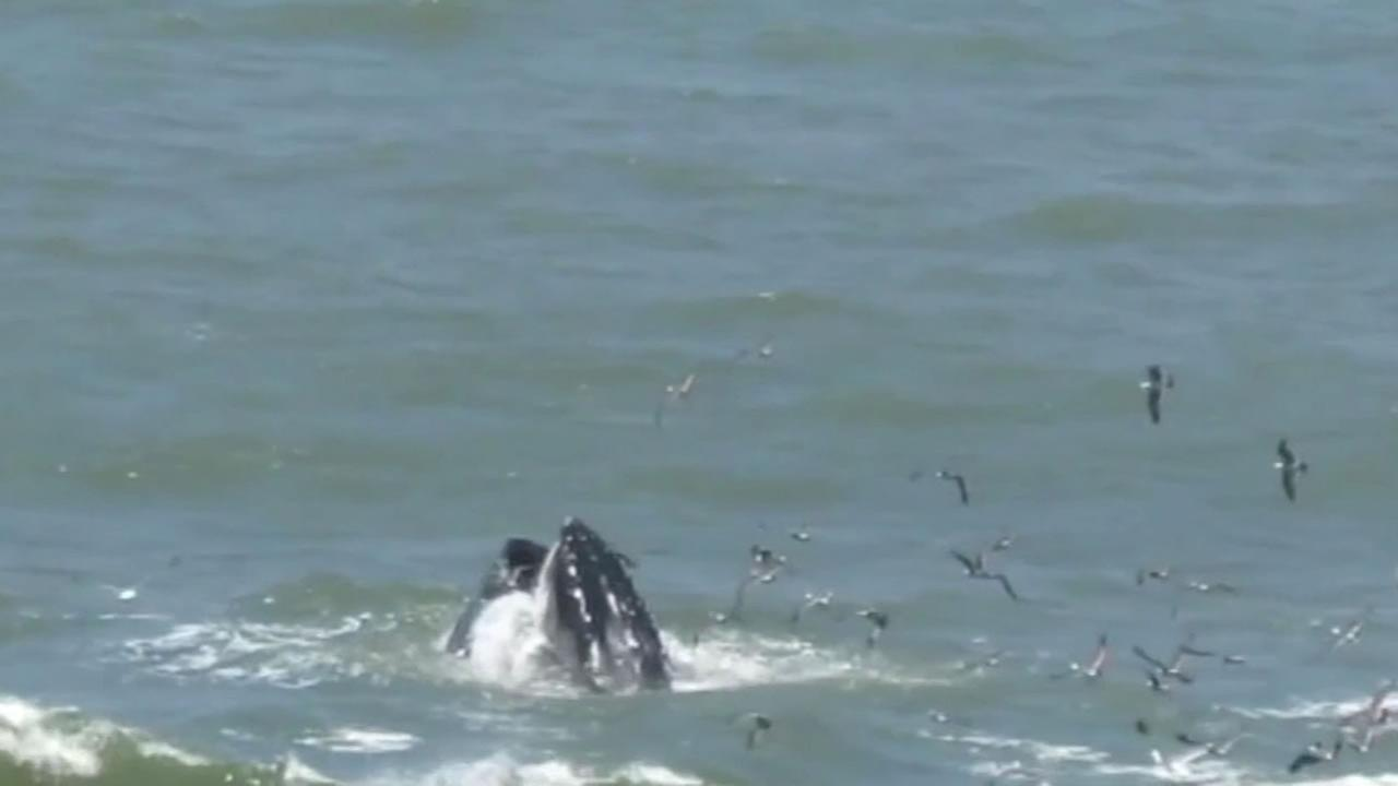 This image whales breaching in Pacifica, Calif. on July 1, 2016.