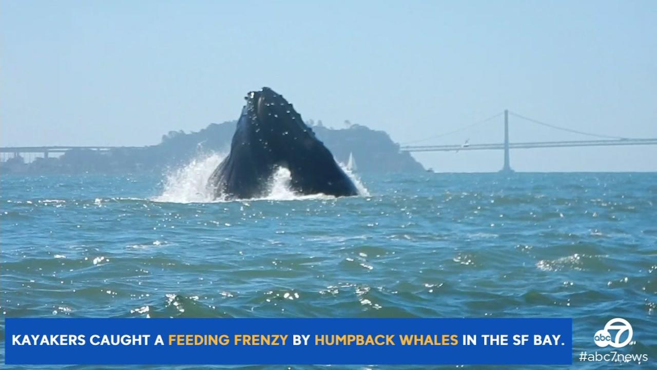 A group of kayakers captured video of a feeding frenzy by humpback whales in the San Francisco Bay on Sunday, July 10, 2016.