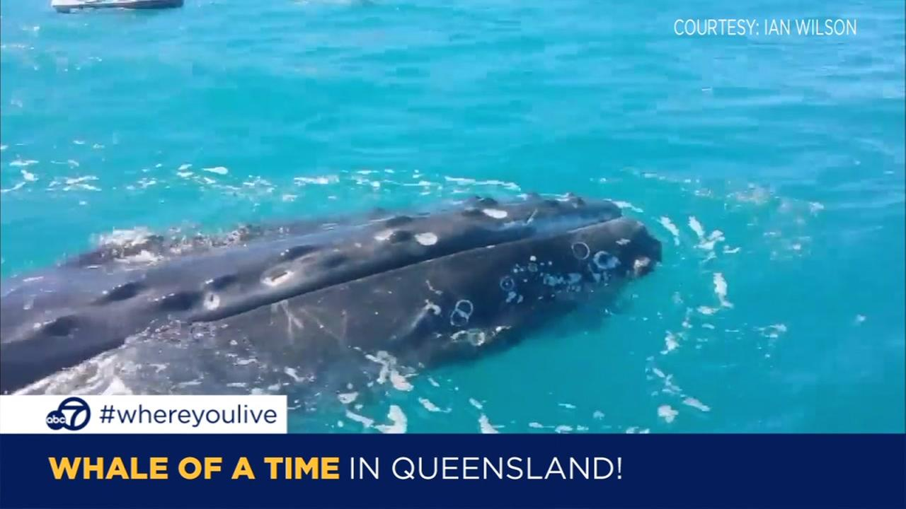 know and tell friendly humpback whale greets jet skiers