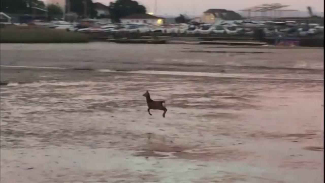 This image shows a deer frolicking along a beach in southern England.