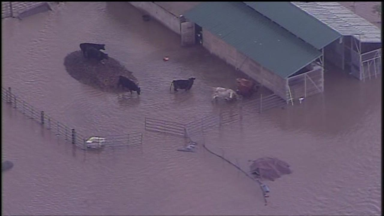 Livestock stranded by rising flood water are seen in Hollister, Calif. on Wednesday January 11, 2017.