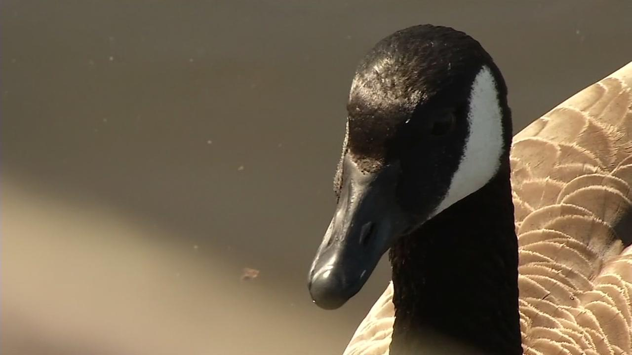 A Canadian goose is seen in this undated image.