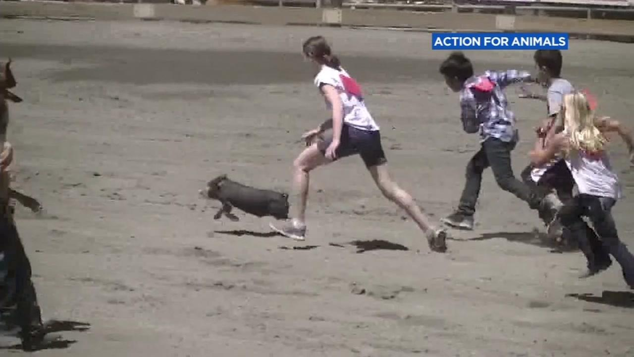 Children chase after a pig in this undated image.