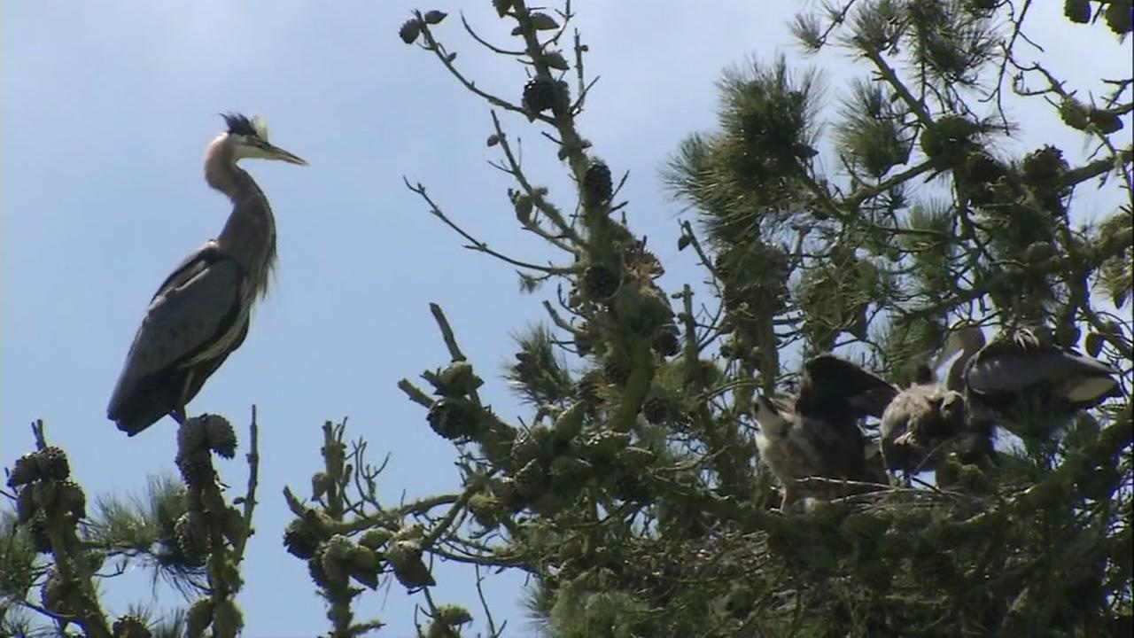 Blue Herons are seen nesting in Golden Gate Park in San Francisco on Thursday, April 13, 2017