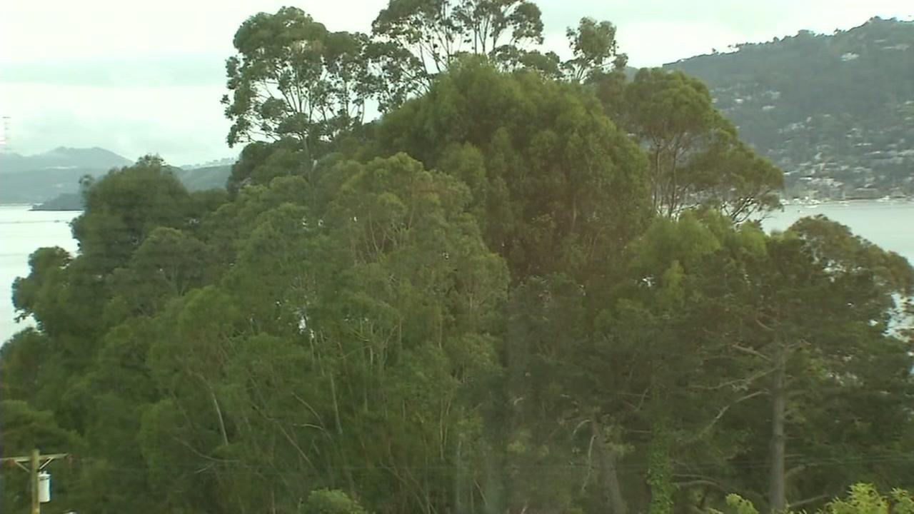 Controversial eucalyptus trees appear in Tiburon, Calif. on Monday, April 24, 2017.