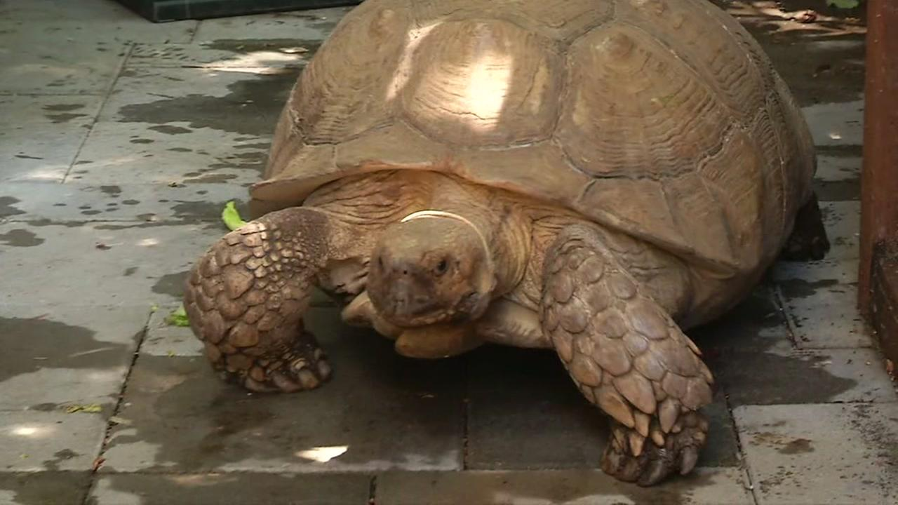 Runaway Tortoise brings out animal control in Portola Valley