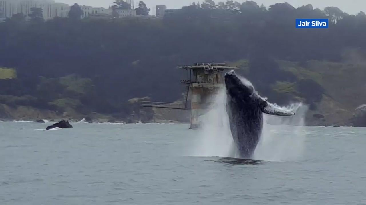 VIDEO: Whale breaches surface of San Francisco Bay