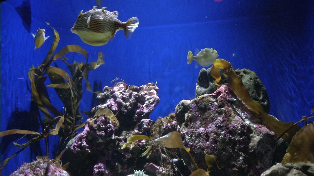 Fish appear in the Monterey Bay Aquarium in this undated image.