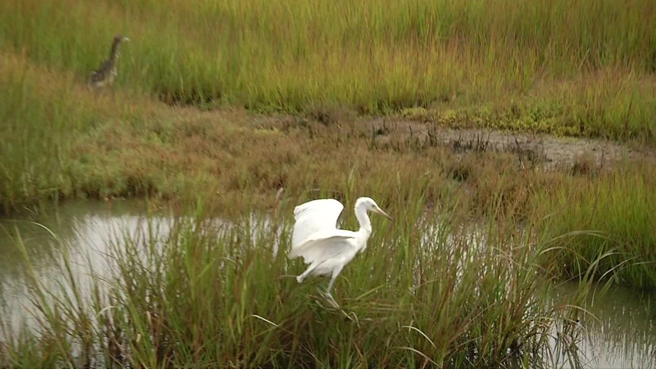 Flock of Egrets and Herons nest in wetlands in Oakland
