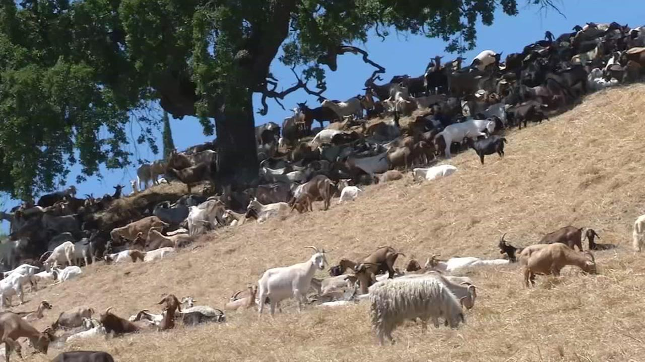 Goats graze in Golden Gate National Park on Wednesday, Aug. 23, 2017.