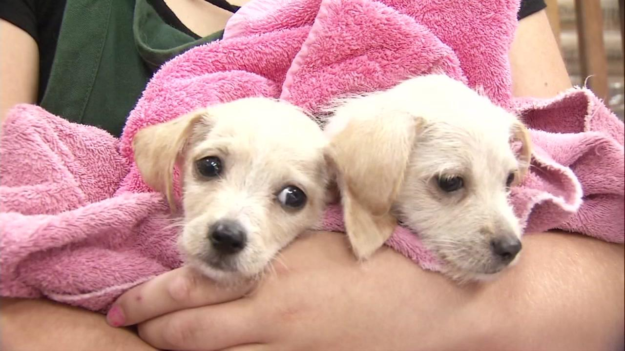 Two puppies rescued from the Houston floods arrive in Oakland, Calif. on Monday, Sept. 4, 2017.